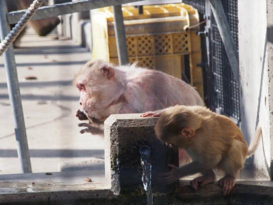 大浜公園の水飲み子猿