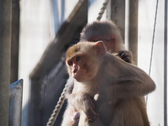 大浜公園の毛づくろい猿2