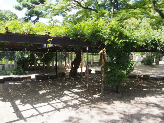 方違神社の藤