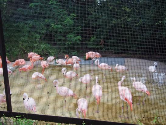 天王寺動物園のフラミンゴ