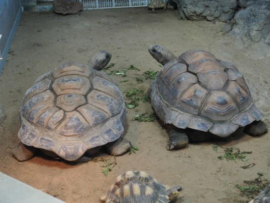 天王寺動物園のカメ2