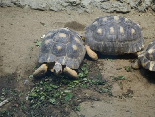 天王寺動物園のカメ