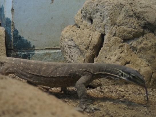 天王寺動物園のトカゲ2