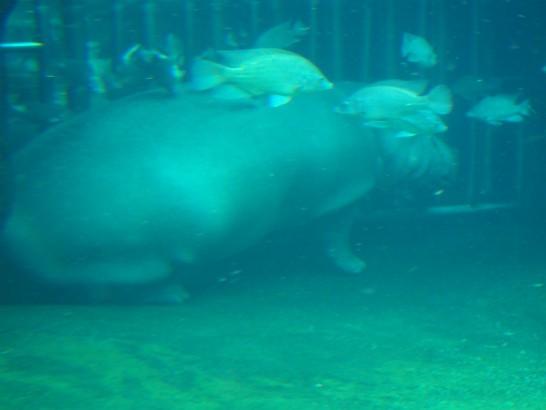 天王寺動物園の水中カバ