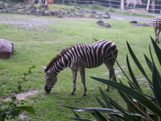 天王寺動物園のシマウマ