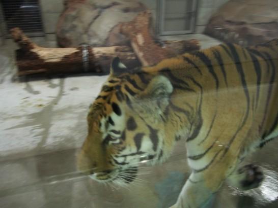天王寺動物園の動きまわるトラ