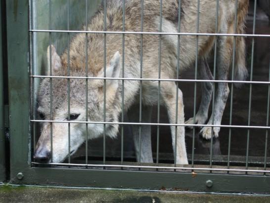 天王寺動物園のオオカミ