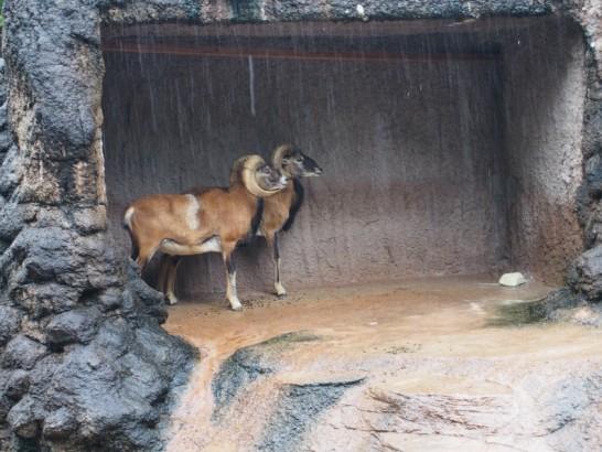 天王寺動物園のムフロン