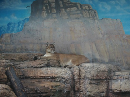 天王寺動物園のジャガー