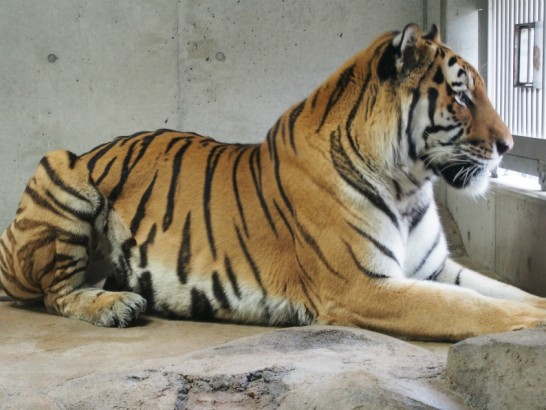 天王寺動物園置物見たいなトラ