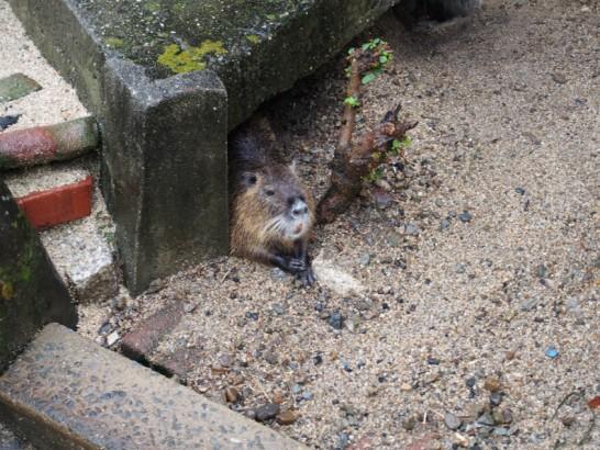 天王寺動物園カピバラっぽい動物