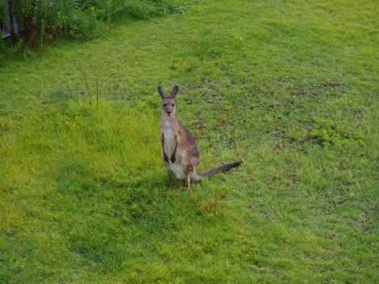 天王寺動物園のカンガルー