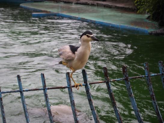 天王寺動物園のアシカのエサを狙う鳥