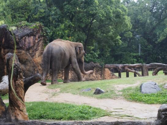 天王寺動物園のゾウ散歩