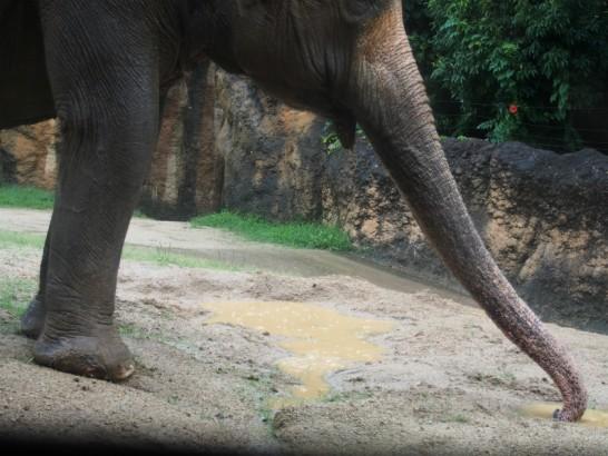 天王寺動物園のゾウの伸びた鼻