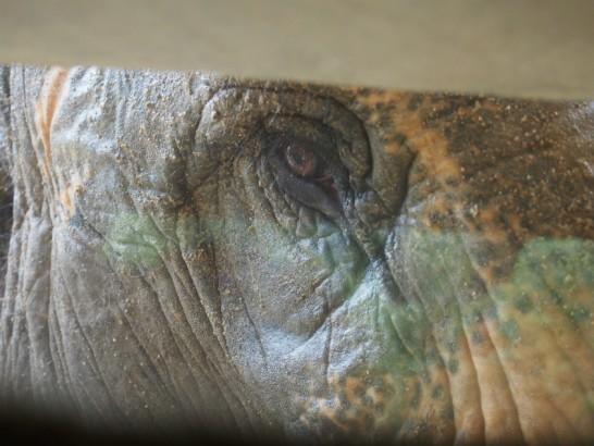 天王寺動物園のゾウの目