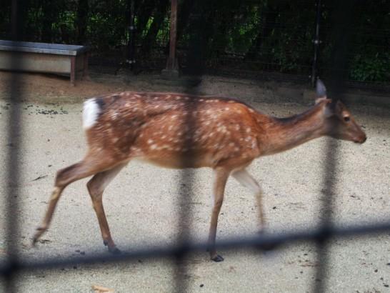 天王寺動物園のシカ2