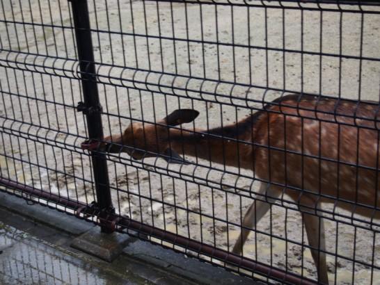 天王寺動物園のシカ