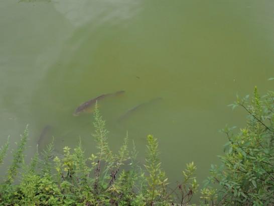 御廟山古墳の鯉