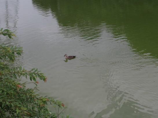 御廟山古墳の寄ってくる鴨